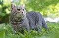 Cat in grass grey outdoor Royalty Free Stock Image