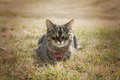 Cat in grass laying watching Royalty Free Stock Photography