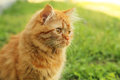 Cat on grass redhead long hair Royalty Free Stock Images