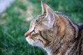 Cat on grass watching something Stock Image