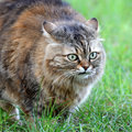 Cat on green grass background of Stock Images