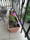 Cat Grey is on a balcony with flowers