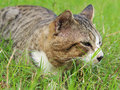 Cat grey stripe relaxing on the grass Royalty Free Stock Photos