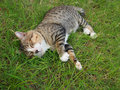 Cat grey stripe relaxing on the grass Royalty Free Stock Photography