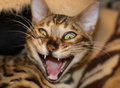 Cat grinning young bengal or yawning Royalty Free Stock Images