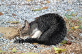 Cat grooming grey tabby sitting on the floor outside enjoying the sun and itself selective focus Stock Images