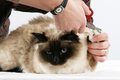 Cat grooming trimming the claws of a sacred birman on white background Royalty Free Stock Photos