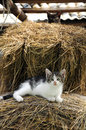 Cat in the haystack valtellina italy Royalty Free Stock Image