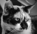 Cat headshot a black and white photo of a Stock Images