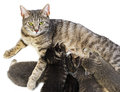 cat and her kittens Royalty Free Stock Photo