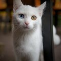 Cat with heterochromia a white one blue and one yellow eye Stock Photos