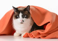 Cat hiding under blanket covers ragdoll sitting orange on white background male Stock Images