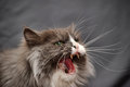 Cat hisses aggressive Stock Image