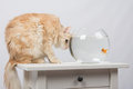 Cat hunting looking at goldfish domestic sitting on a table on which there is an aquarium with Royalty Free Stock Photography