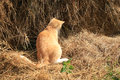 Cat hunts mice warrantable ginger in the hay Stock Photos