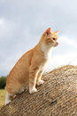 Cat hunts mice warrantable ginger in the hay Stock Photography