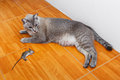 Cat kill rat close up thai or mouse on ceramic floor tiles Royalty Free Stock Photo