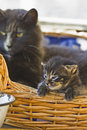 Cat and kitten Royalty Free Stock Photo