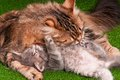 Cat and kitten grooming her on artificial green grass Stock Photo