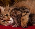 Cat with kitten lovely siberian which kisses mummy close up Stock Photo
