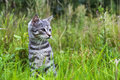 Cat kitten meadow green grass animal grey on a spring Royalty Free Stock Image