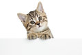 Cat kitten peeking out of a blank placard isolated on white background Royalty Free Stock Photo