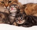 Cat with kittens cute newborn siberian their mother on the background Stock Photography
