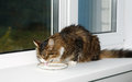 Cat lapping milk from a saucer sitting on window sill Royalty Free Stock Photos