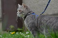 Cat on a leash Royalty Free Stock Photo