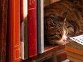 Cat in a library Royalty Free Stock Photo