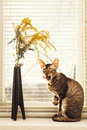 Cat lick oneself sitting against the venetian window blinds Royalty Free Stock Image