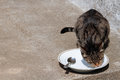 Cat licking plate Royalty Free Stock Image