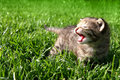 Cat like lion Royalty Free Stock Image