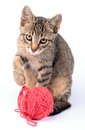 Cat little playing with wool on white background Stock Image