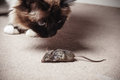 Cat looking at dead mouse Royalty Free Stock Photo
