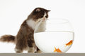 Cat looking at goldfish in fishbowl a against white background Stock Photo