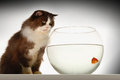 Cat looking at goldfish in fishbowl side view of a a against white background Royalty Free Stock Image