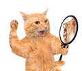 Cat looking into the mirror and seeing a reflection of a lion. Royalty Free Stock Photo
