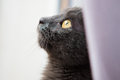 Cat looking out a window gray stares longingly Stock Images