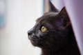 Cat looking out a window gray stares longingly Stock Image