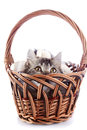 The cat looks out of a wattled basket fluffy with yellow eyes striped not purebred kitten kitten on white background small Royalty Free Stock Photography