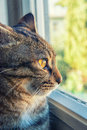Cat looks outside from the window tabby Stock Image