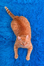 Cat lying on a blue carpet Royalty Free Stock Photo