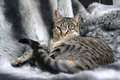 Cat lying on fur blanket Royalty Free Stock Photography