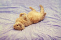 Cat lying on her back on a blanket Royalty Free Stock Photo