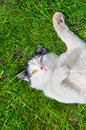 Cat lying on the lawn his back Royalty Free Stock Photography