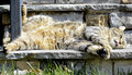 Cat lying on steps a gray tabby highlander lynx the of a house in the sun tongue sticking out Royalty Free Stock Image