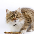 Cat maine coon eats and looking Stock Photos