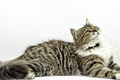 Cat maine coon laying and watching pose Stock Images