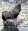 Cat marine pinnipedia seal mammal membrane breeding ground Stock Photo